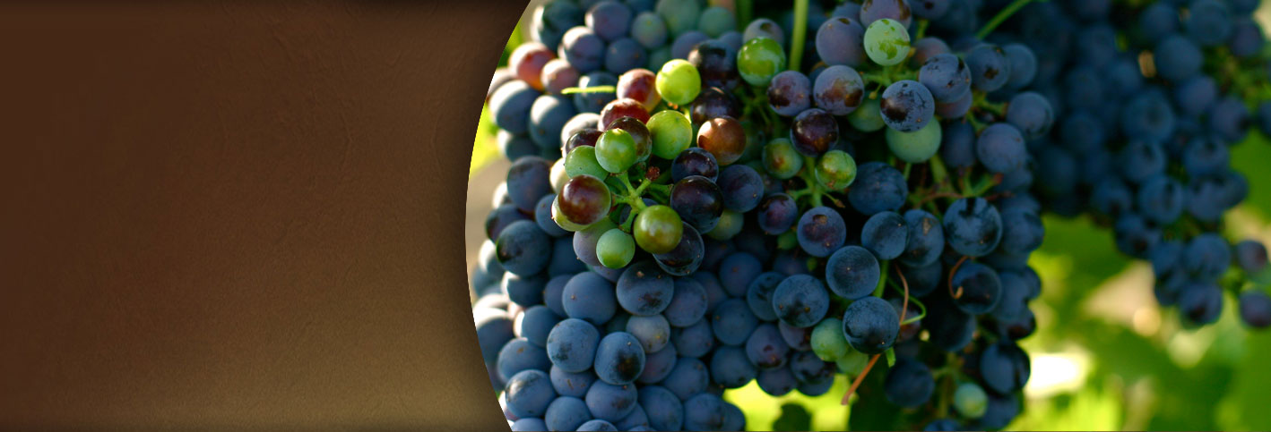 Close up of red grapes on a vine ready to be picked